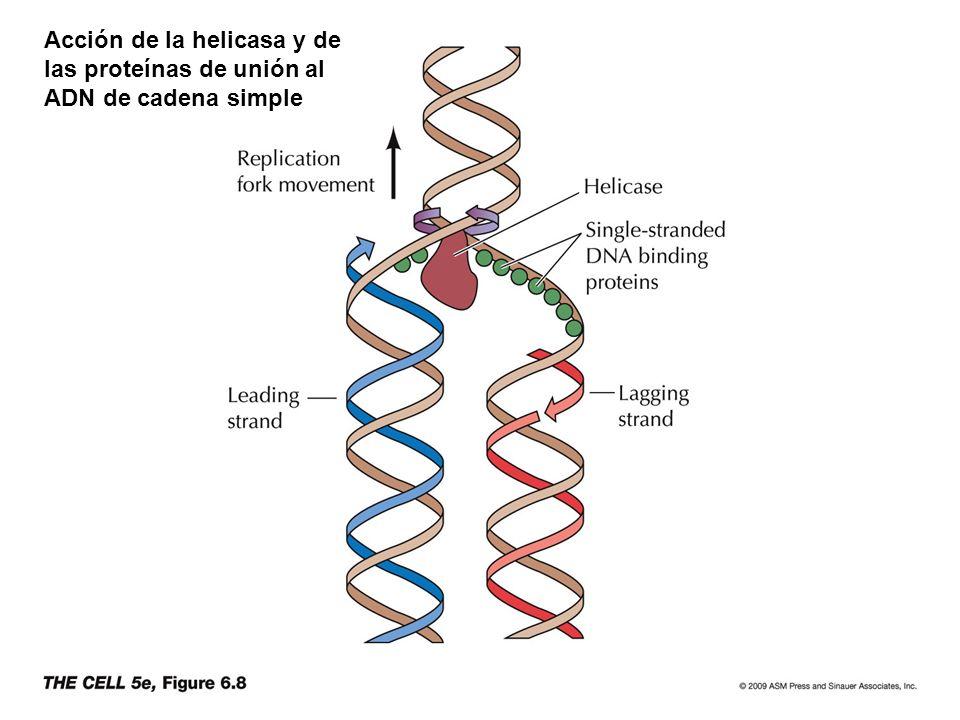 Acción de la helicasa y de las proteínas de unión al ADN de cadena simple