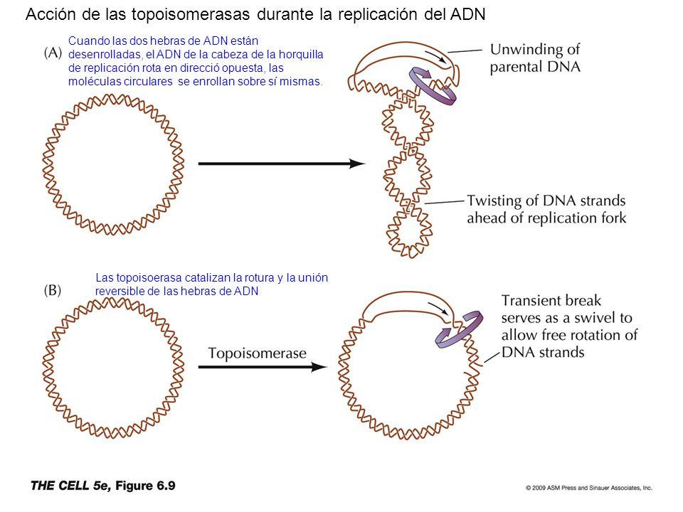 Acción de las topoisomerasas durante la replicación del ADN
