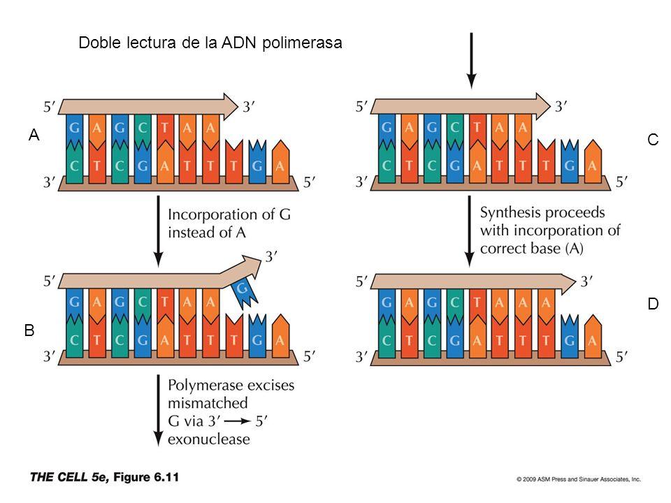 Doble lectura de la ADN polimerasa