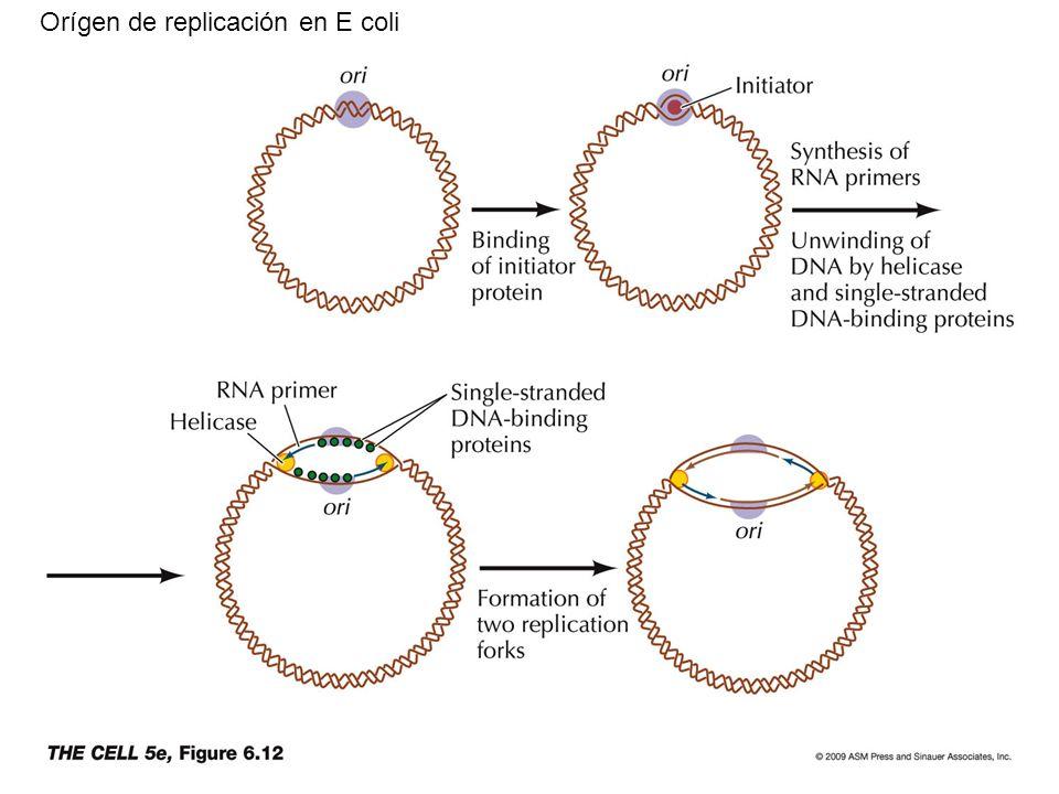 Orígen de replicación en E coli