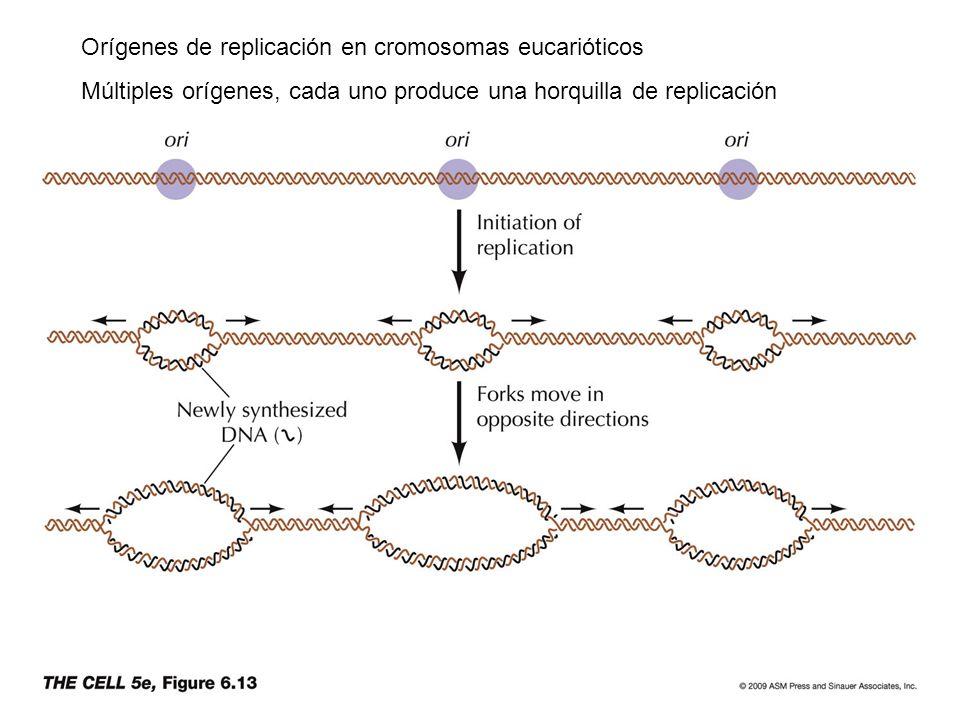 Orígenes de replicación en cromosomas eucarióticos