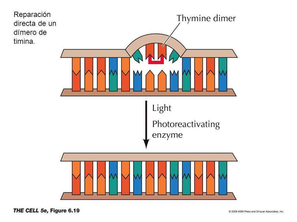 Reparación directa de un dímero de timina.