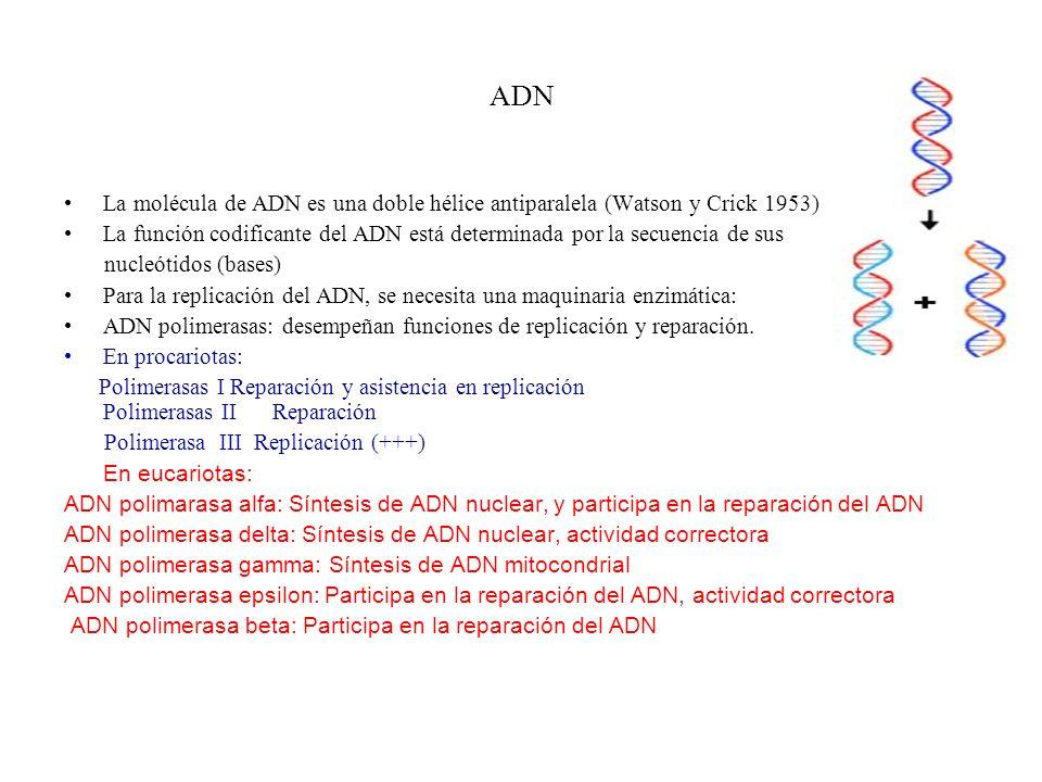 ADN La molécula de ADN es una doble hélice antiparalela (Watson y Crick 1953)