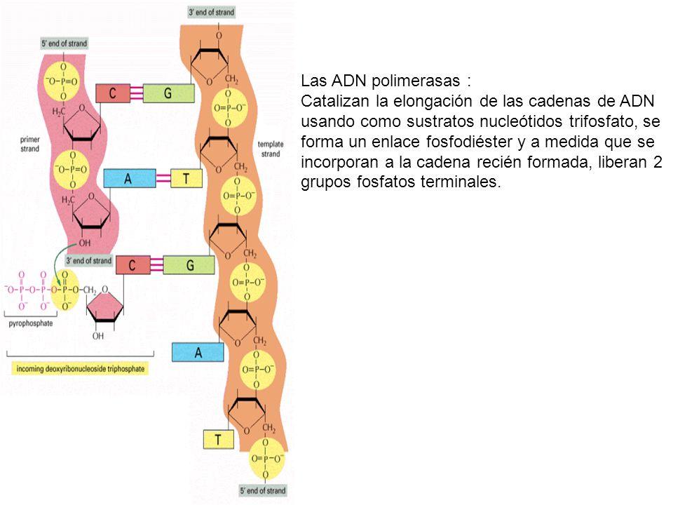 Las ADN polimerasas :