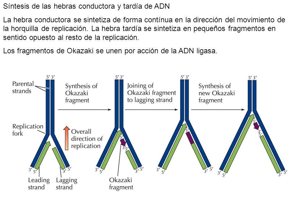 Síntesis de las hebras conductora y tardía de ADN