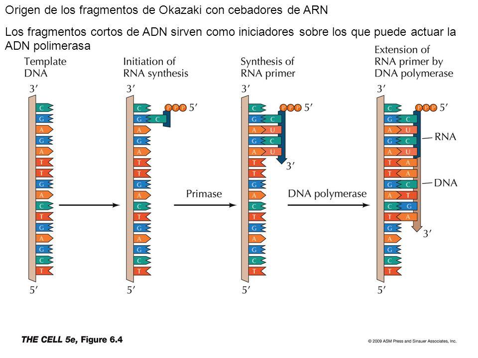 Origen de los fragmentos de Okazaki con cebadores de ARN