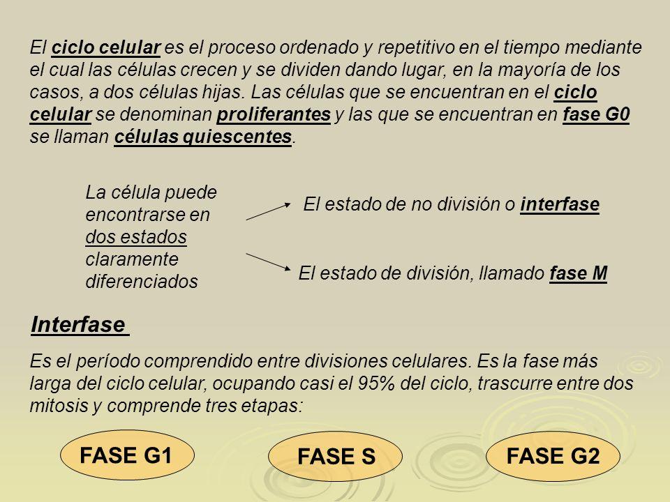 Interfase FASE G1 FASE S FASE G2