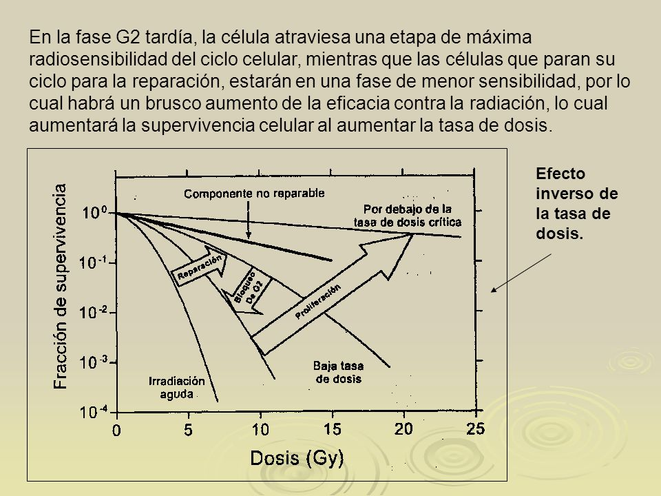 En la fase G2 tardía, la célula atraviesa una etapa de máxima radiosensibilidad del ciclo celular, mientras que las células que paran su ciclo para la reparación, estarán en una fase de menor sensibilidad, por lo cual habrá un brusco aumento de la eficacia contra la radiación, lo cual aumentará la supervivencia celular al aumentar la tasa de dosis.