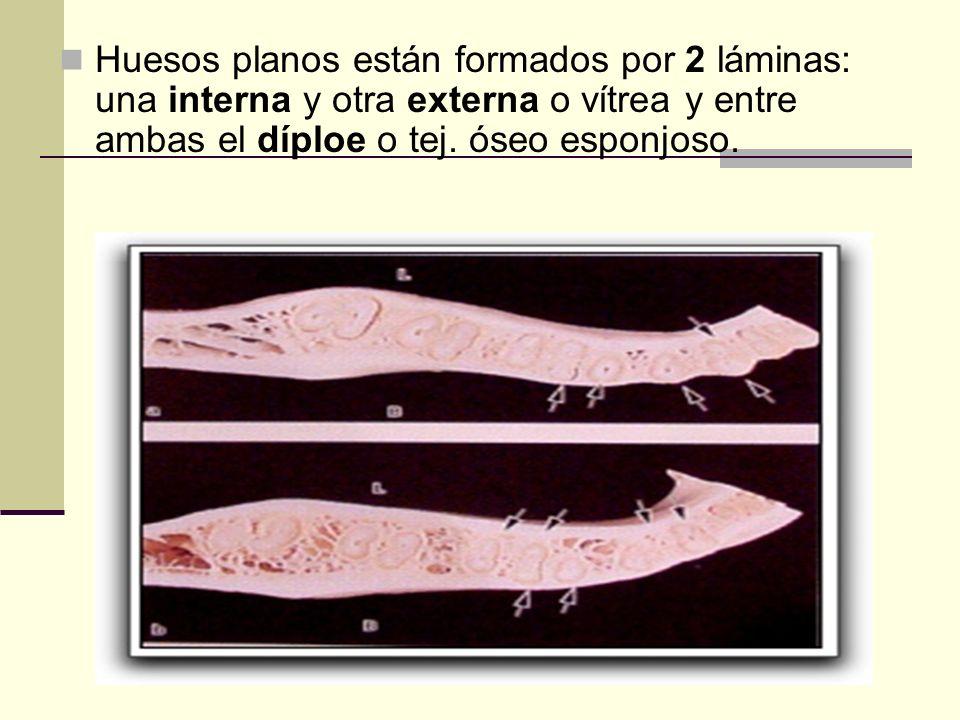 Huesos planos están formados por 2 láminas: una interna y otra externa o vítrea y entre ambas el díploe o tej.