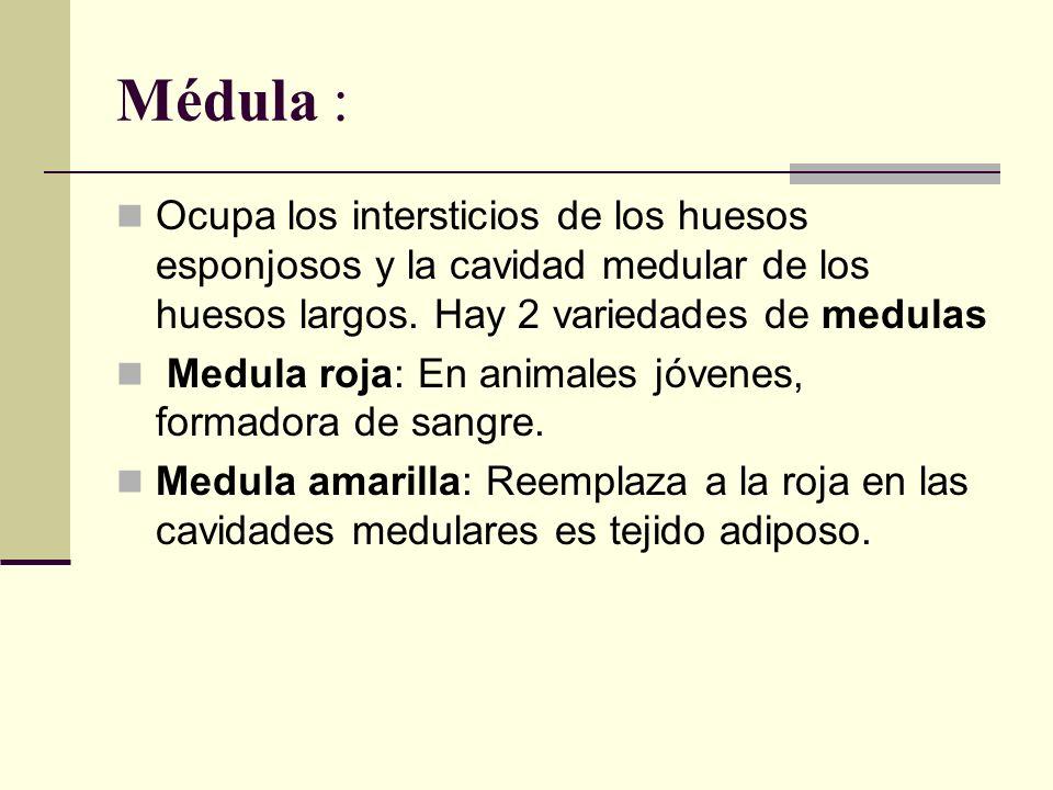 Médula : Ocupa los intersticios de los huesos esponjosos y la cavidad medular de los huesos largos. Hay 2 variedades de medulas.