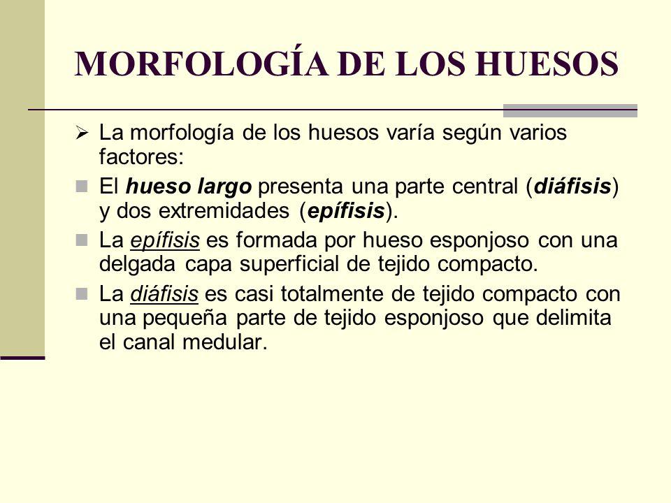 MORFOLOGÍA DE LOS HUESOS