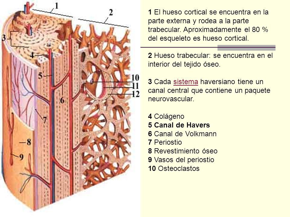 1 El hueso cortical se encuentra en la parte externa y rodea a la parte trabecular. Aproximadamente el 80 % del esqueleto es hueso cortical.