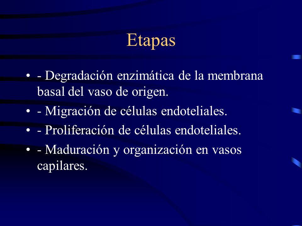 Etapas - Degradación enzimática de la membrana basal del vaso de origen. - Migración de células endoteliales.