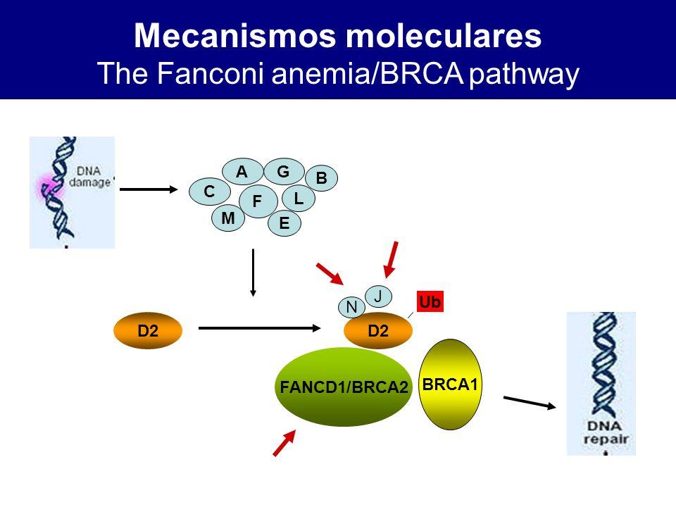 Mecanismos moleculares The Fanconi anemia/BRCA pathway
