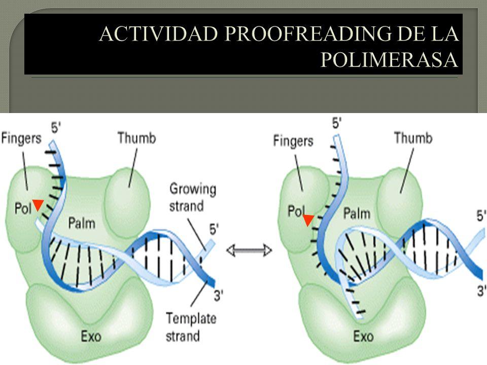 ACTIVIDAD PROOFREADING DE LA POLIMERASA