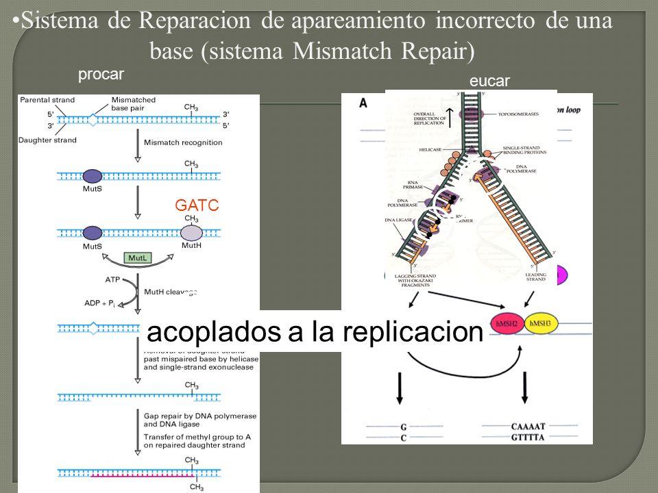 acoplados a la replicacion