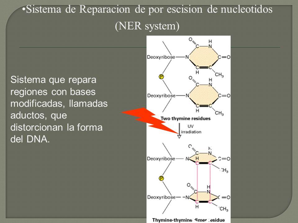 Sistema de Reparacion de por escision de nucleotidos