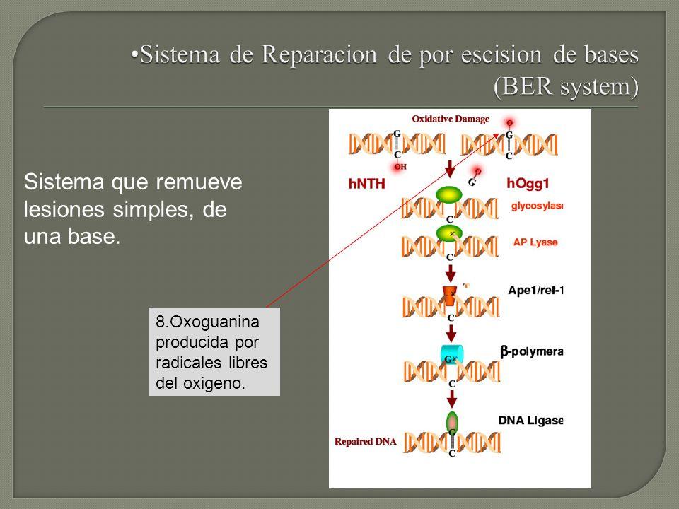 Sistema de Reparacion de por escision de bases (BER system)