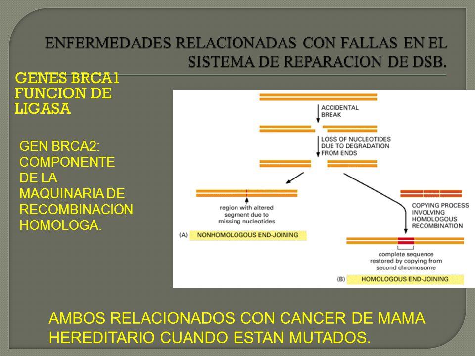 GENES BRCA1 FUNCION DE LIGASA