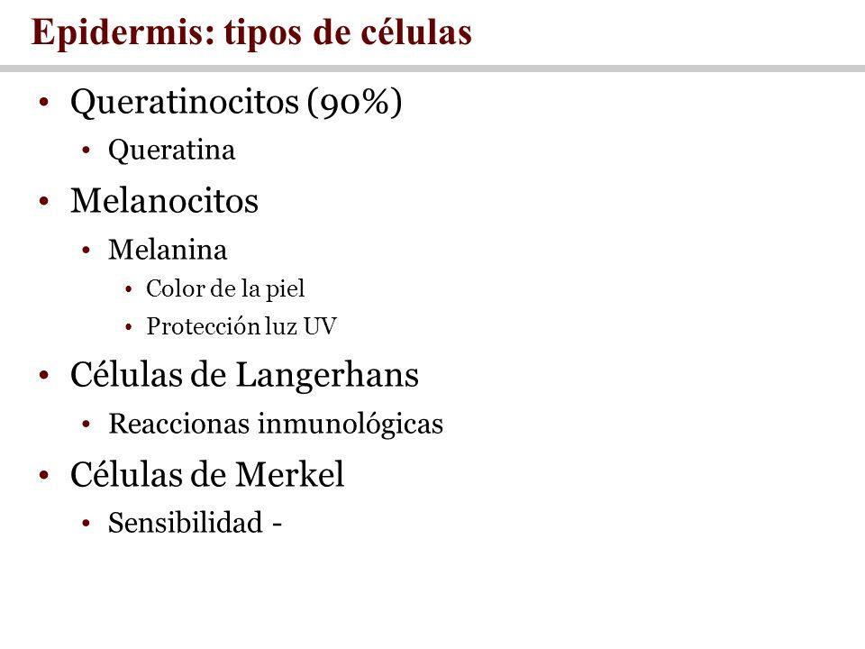 Epidermis: tipos de células