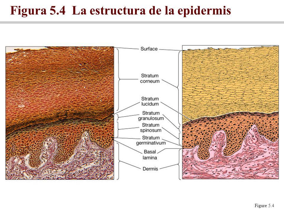 Figura 5.4 La estructura de la epidermis
