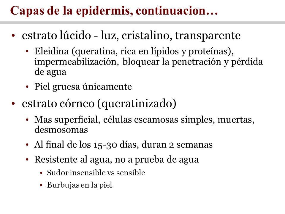 Capas de la epidermis, continuacion…