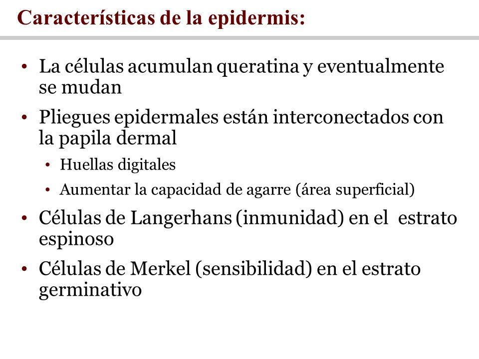 Características de la epidermis: