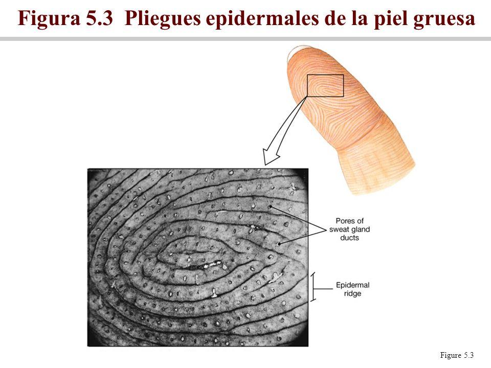 Figura 5.3 Pliegues epidermales de la piel gruesa