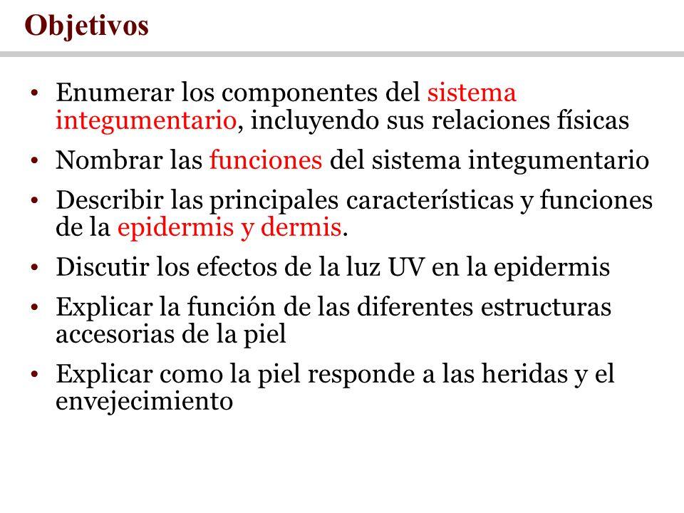 Objetivos Enumerar los componentes del sistema integumentario, incluyendo sus relaciones físicas. Nombrar las funciones del sistema integumentario.