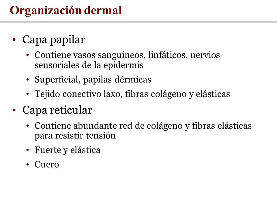 Organización dermal Capa papilar Capa reticular