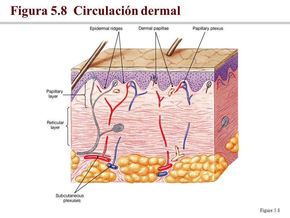 Figura 5.8 Circulación dermal