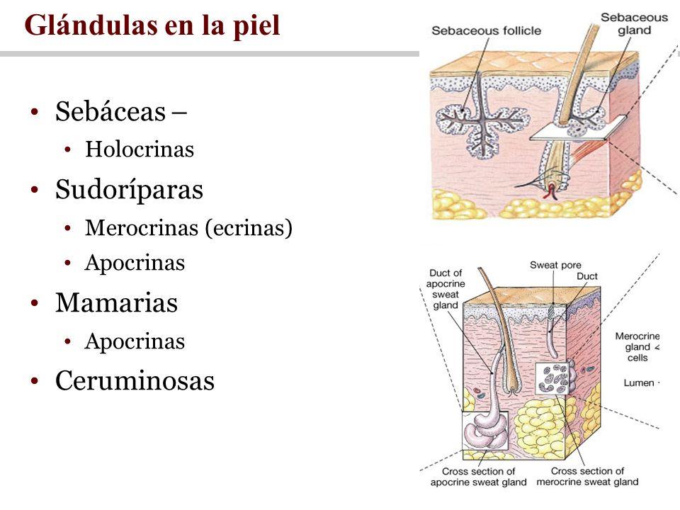 Glándulas en la piel Sebáceas – Sudoríparas Mamarias Ceruminosas