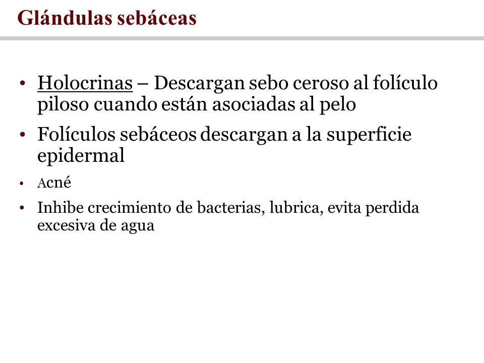 Glándulas sebáceas Holocrinas – Descargan sebo ceroso al folículo piloso cuando están asociadas al pelo.