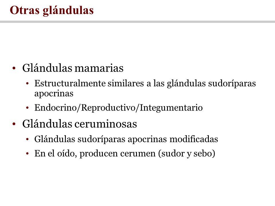Otras glándulas Glándulas mamarias Glándulas ceruminosas