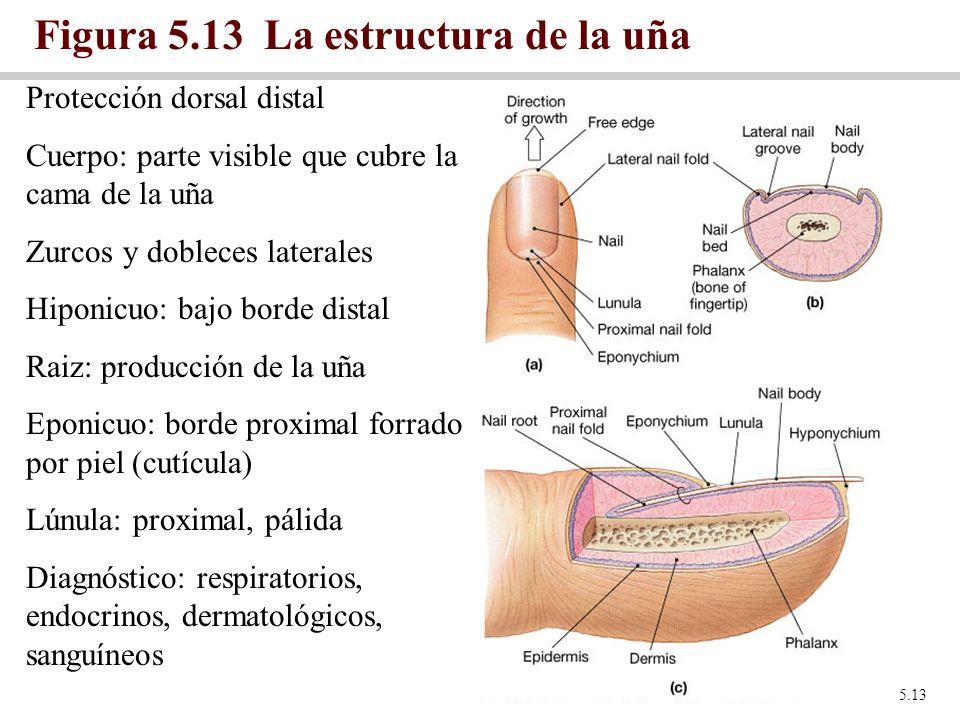 Figura 5.13 La estructura de la uña