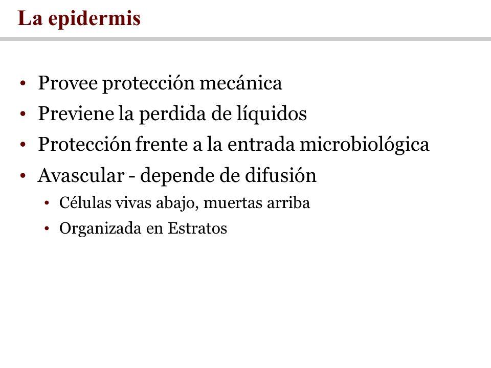 La epidermis Provee protección mecánica