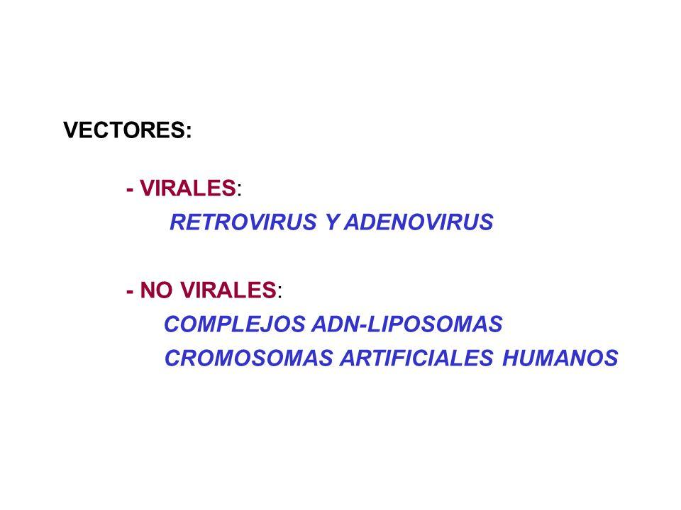 VECTORES: - VIRALES: RETROVIRUS Y ADENOVIRUS. - NO VIRALES: COMPLEJOS ADN-LIPOSOMAS.
