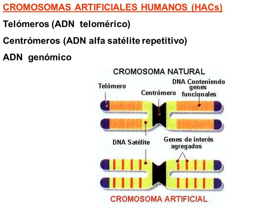 CROMOSOMAS ARTIFICIALES HUMANOS (HACs)