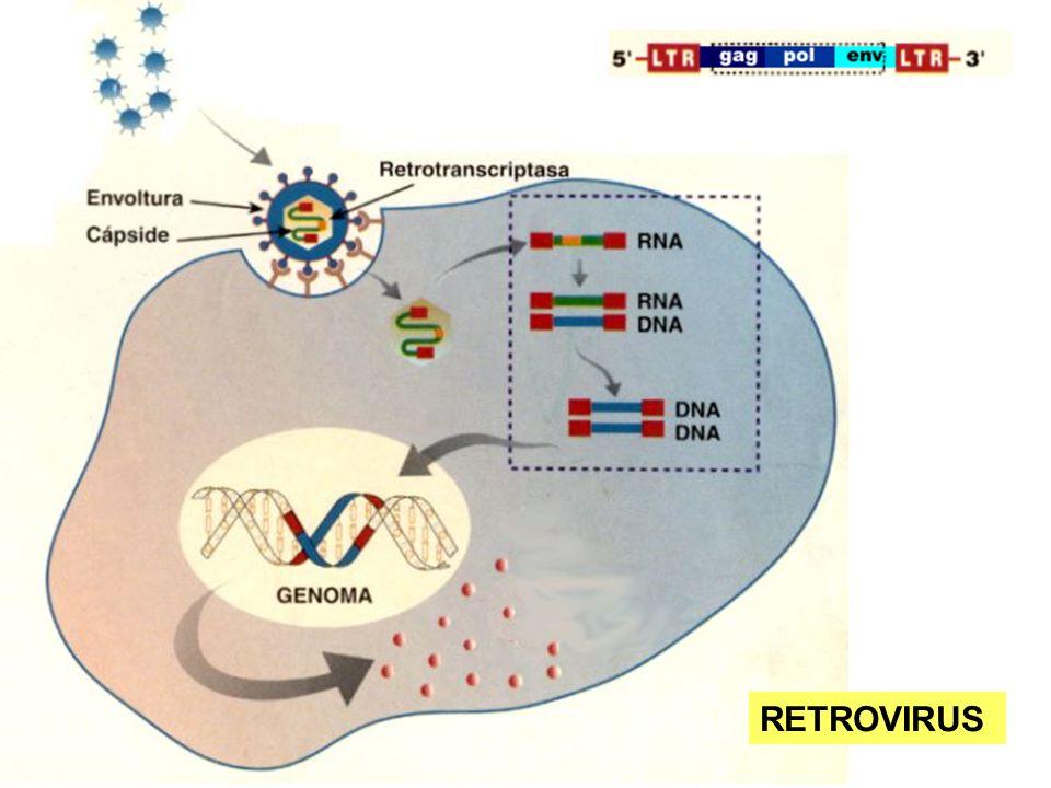 Los retrovirus son virus cuyo genoma (unos 9,7 kb) está constituido por una cadena simple de ARN y que replican mediante la formación de una cadena doble de ADN (provirus) como intermediario.