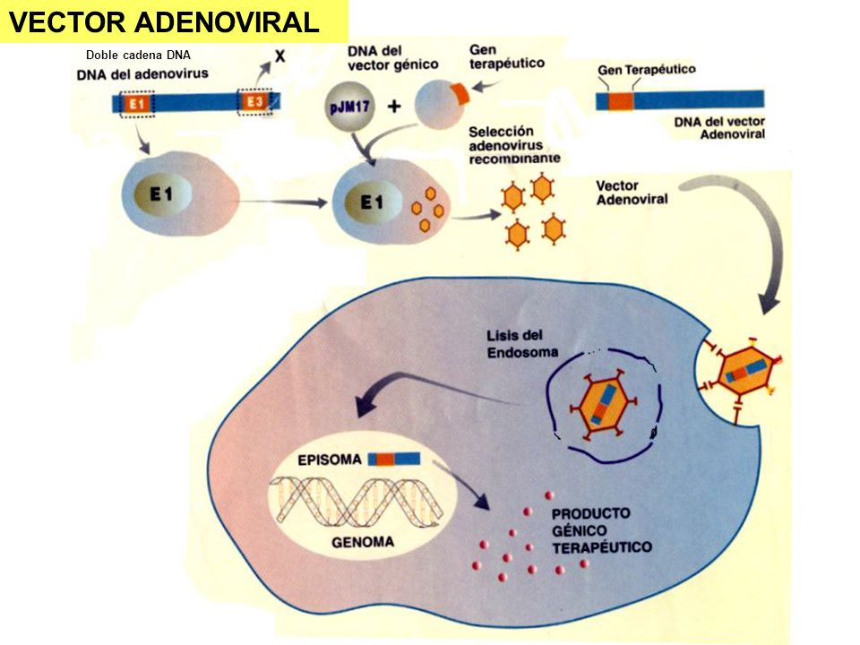 VECTOR ADENOVIRAL Doble cadena DNA.