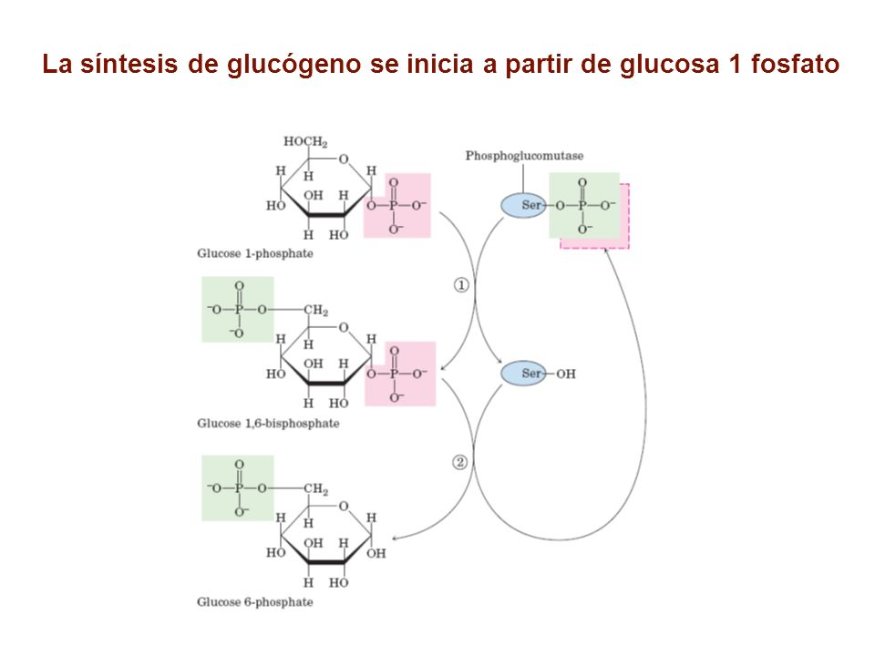 La síntesis de glucógeno se inicia a partir de glucosa 1 fosfato