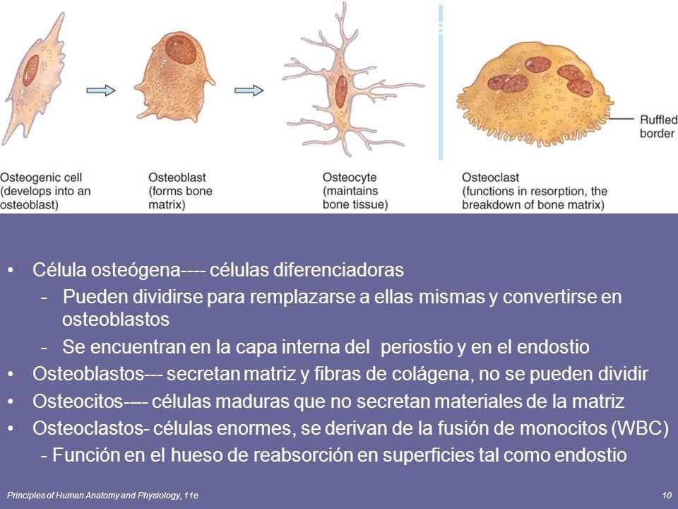 Cells of Bone Célula osteógena---- células diferenciadoras