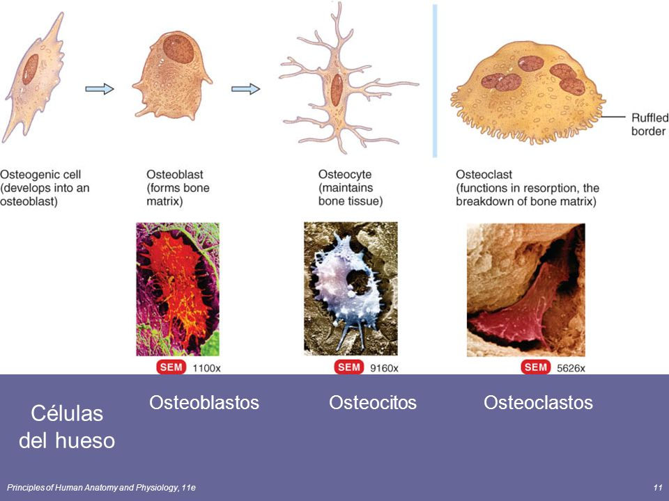 Osteoblastos Osteocitos Osteoclastos