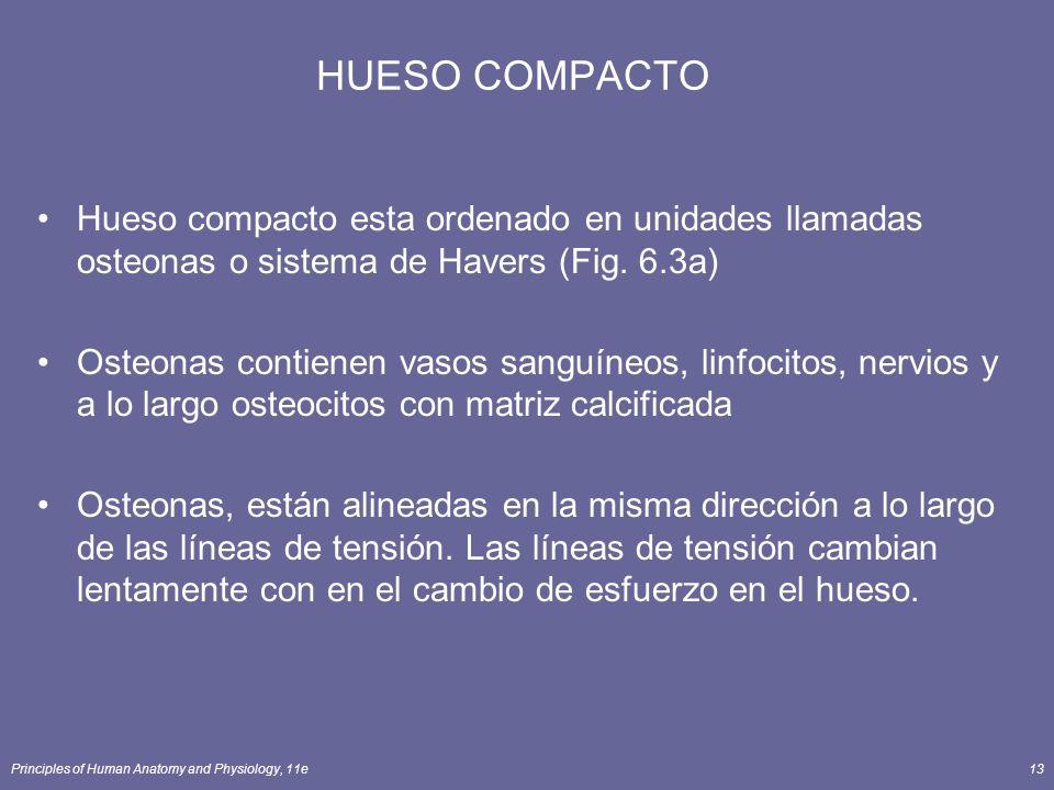 HUESO COMPACTO Hueso compacto esta ordenado en unidades llamadas osteonas o sistema de Havers (Fig. 6.3a)