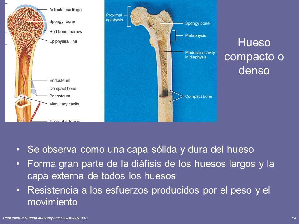 Hueso compacto o denso Se observa como una capa sólida y dura del hueso.