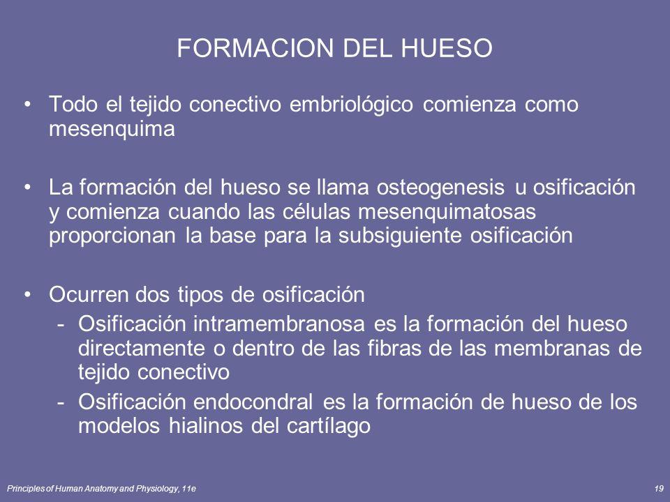 FORMACION DEL HUESO Todo el tejido conectivo embriológico comienza como mesenquima.