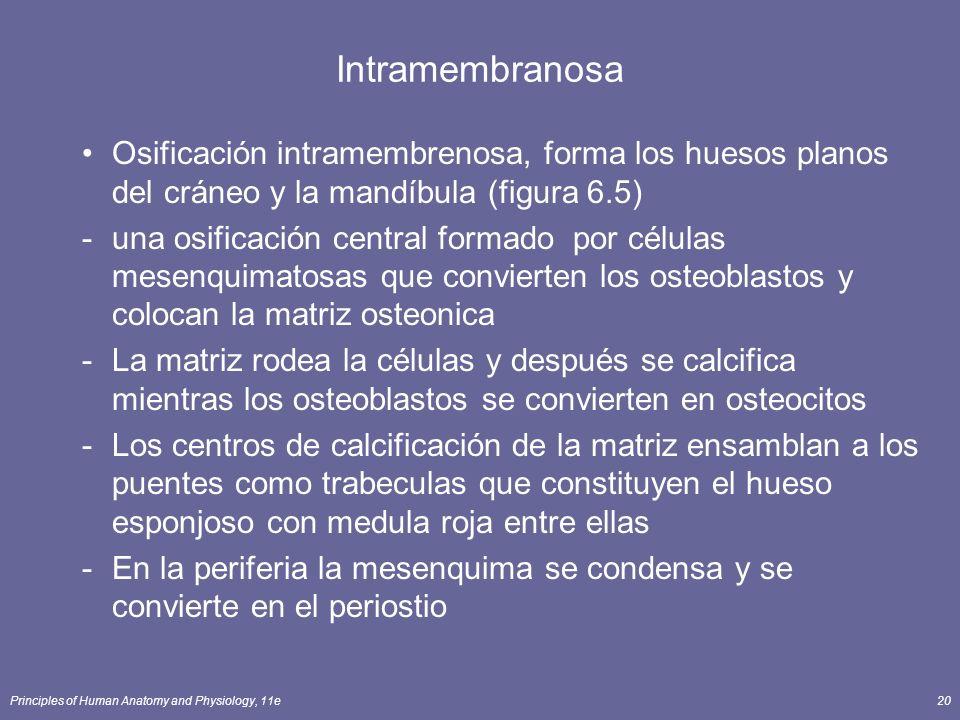 Intramembranosa Osificación intramembrenosa, forma los huesos planos del cráneo y la mandíbula (figura 6.5)