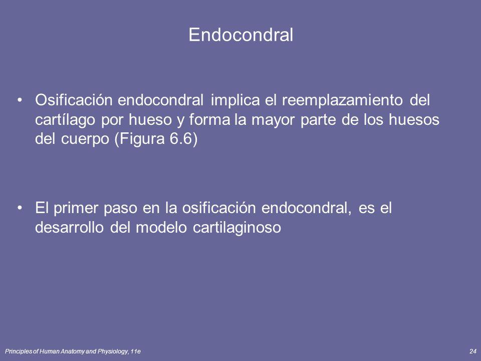 Endocondral Osificación endocondral implica el reemplazamiento del cartílago por hueso y forma la mayor parte de los huesos del cuerpo (Figura 6.6)