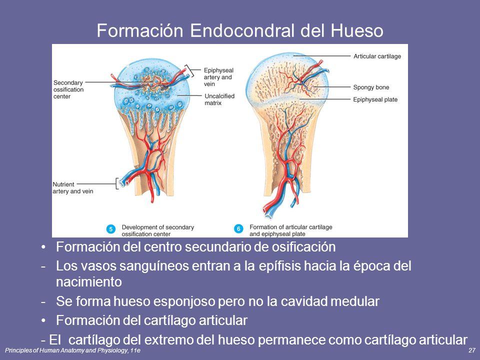 Formación Endocondral del Hueso