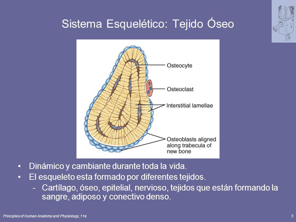 Sistema Esquelético: Tejido Óseo